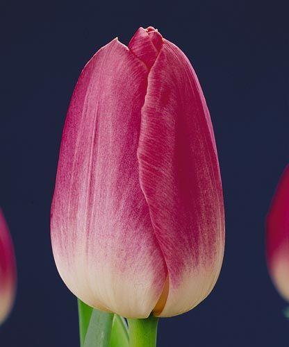 Тюльпан Династия (срезка) 26008: фото и описание