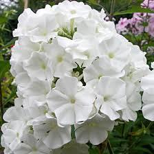 Саженец флокса Вайт Спарр ( White Sparr): фото и описание
