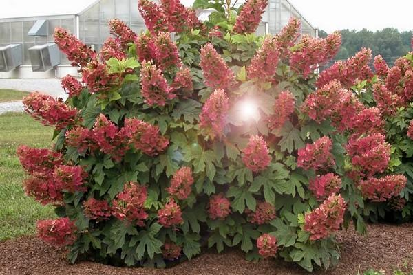 Гортензия метельчатая Wim's Red (Вимс Ред)