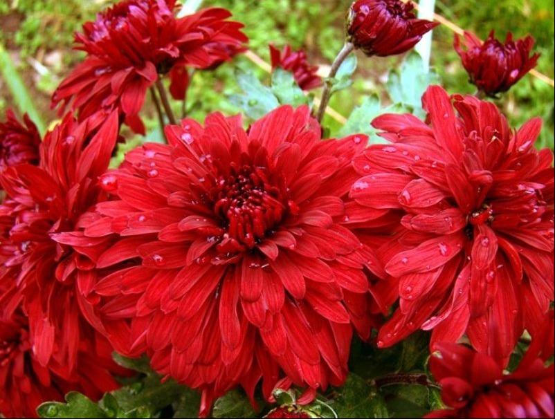 Саженец хризантемы Дипломат: фото и описание