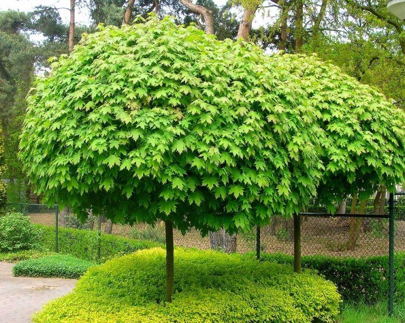 Саженец клёна остролистного (до 100 см): фото и описание