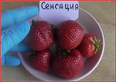 Саженец клубники Чамора Туруси: фото и описание