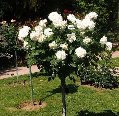 Комплект 3 саженца Роза Аннапюрна (штамбовая): фото и описание
