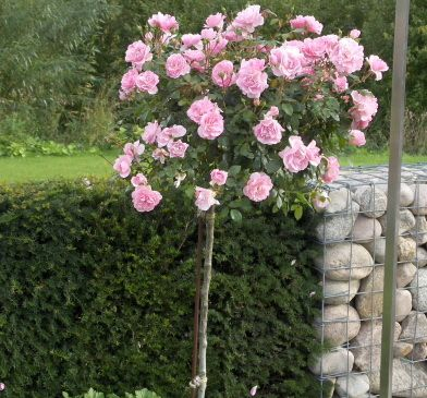 Комплект 3 саженца Роза Боника (штамбовая): фото и описание