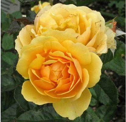 Комплект 3 саженца Роза Эмбер Куин (штамбовая): фото и описание