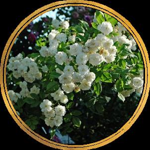 Комплект 3 саженца Роза Франсин Остин (штамбовая): фото и описание