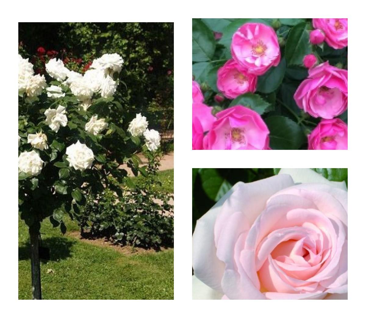 Комплект Р1-3 саженца (Штамбовые розы Александр Пушкин, Ангела, Аннапюрна): фото и описание