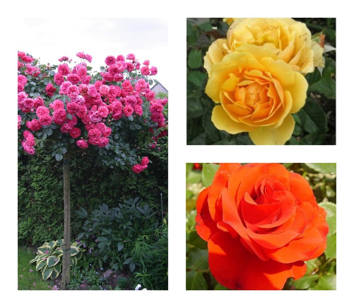 Комплект Р2-3 саженца (Штамбовые розы Ремембрэнс, Розариум Ютерзен, Эмбер Куин): фото и описание