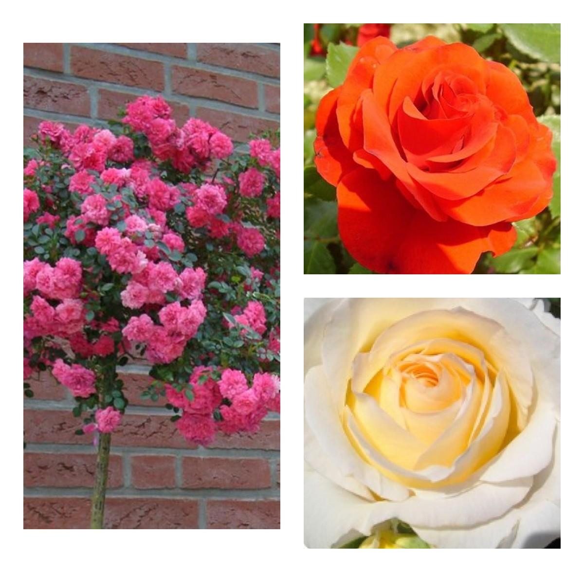 Комплект Р5-3 саженца (Штамбовые розы Книрпс, Ремембрэнс, Шопен): фото и описание