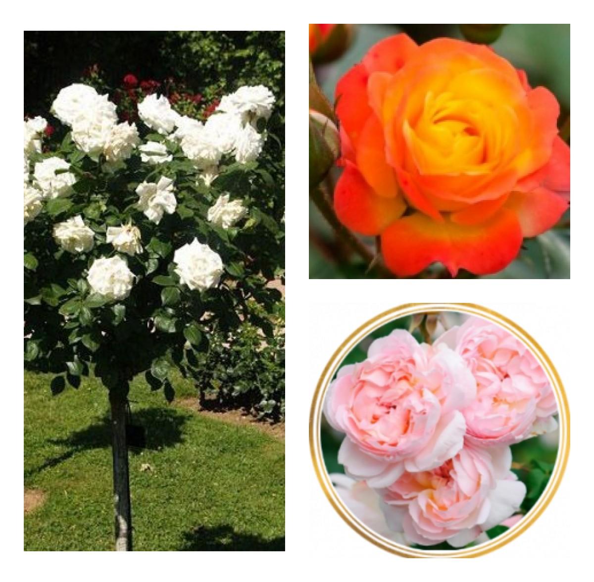 Комплект Р6-3 саженца (Штамбовые розы Румба, Аннапюрна, Шарифа Асма): фото и описание