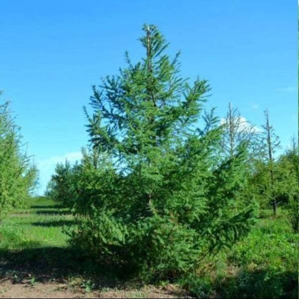 Саженец Лиственницы Сибирской сеянец ( 10- 20 см): фото и описание