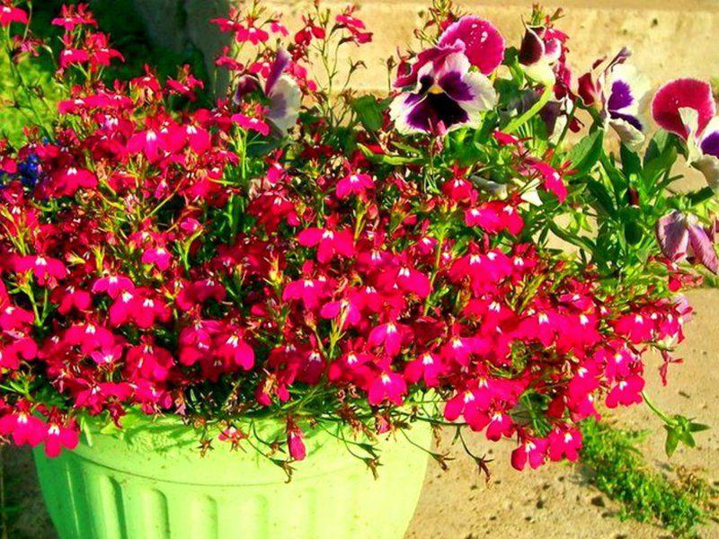 лобелия каскадная пурпурно-красная арт. 5502