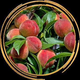 Саженец персика Фаворит Моретини: фото и описание