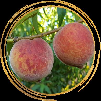 Саженец персика Кондор: фото и описание