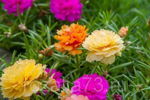 Портулак Цветик-семицветик Арт. 5740