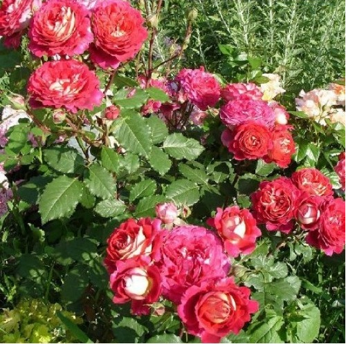 Саженец Розы Докторк Массад : фото и описание