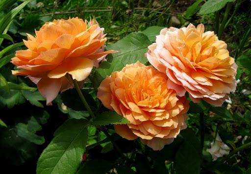 Роза Грейс: фото и описание