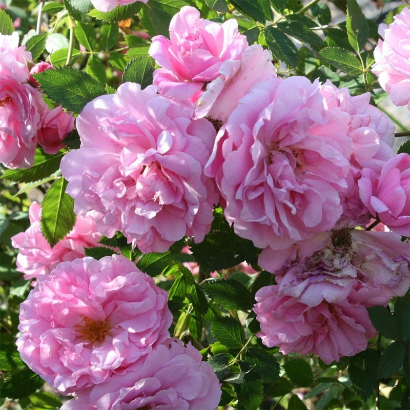Саженец розы канадской John Davis (Джон Девис): фото и описание