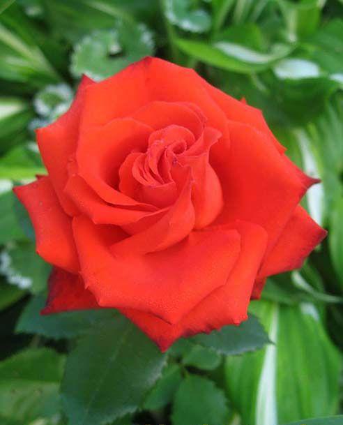 Саженец розы Mercedes (Мерседес): фото и описание