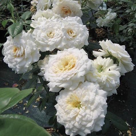 Саженец розы Надин Хелла Риччи: фото и описание