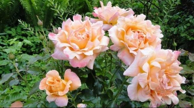 Саженец Розы Раффлс: фото и описание