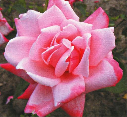 Саженец чайно-гибридной розы Утро Москвы: фото и описание
