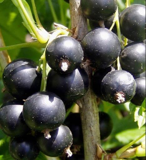 Саженец смородины Черная Селеченская 2: фото и описание