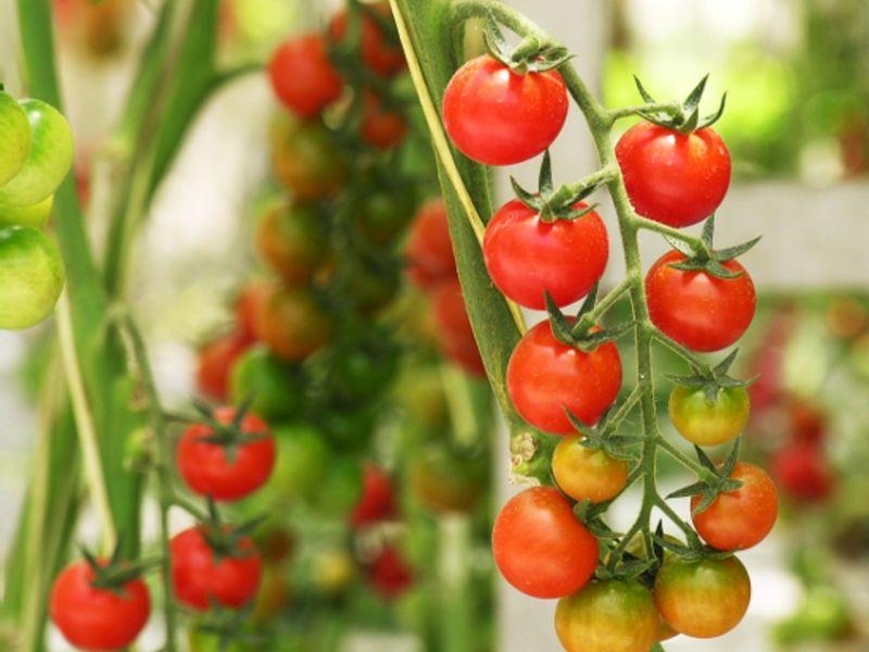 томат бусинка f1 (черри) арт. 5443