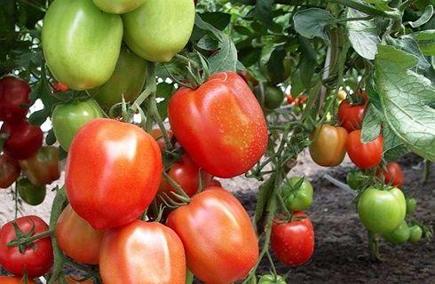 томат настя сибирячка арт. 5342
