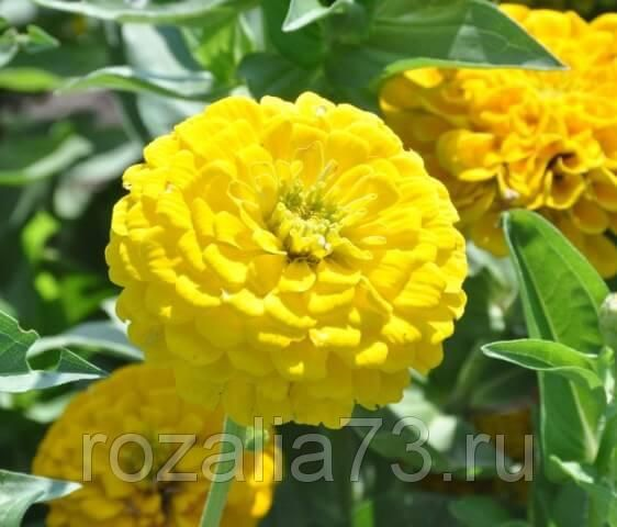 цинния голден стейт георгиновидная (жёлтая) арт. 5756