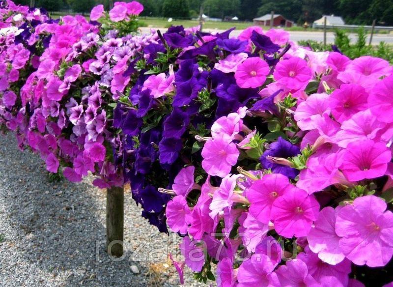 Цветы Петуния Призма сливовая Арт. 5229   Семена