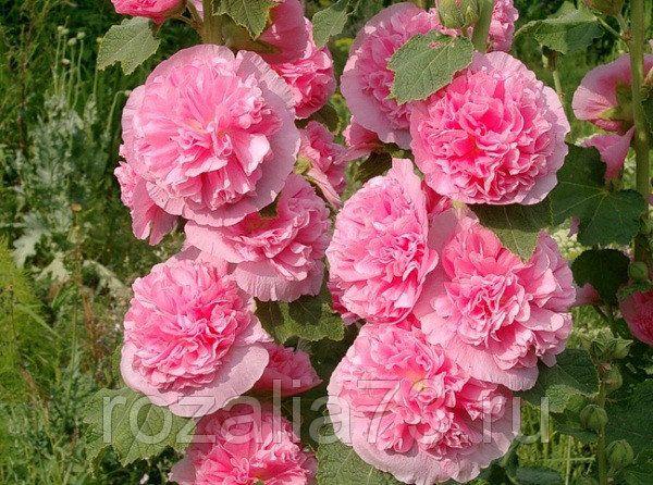 цветы шток-роза мальва смесь арт. 5240