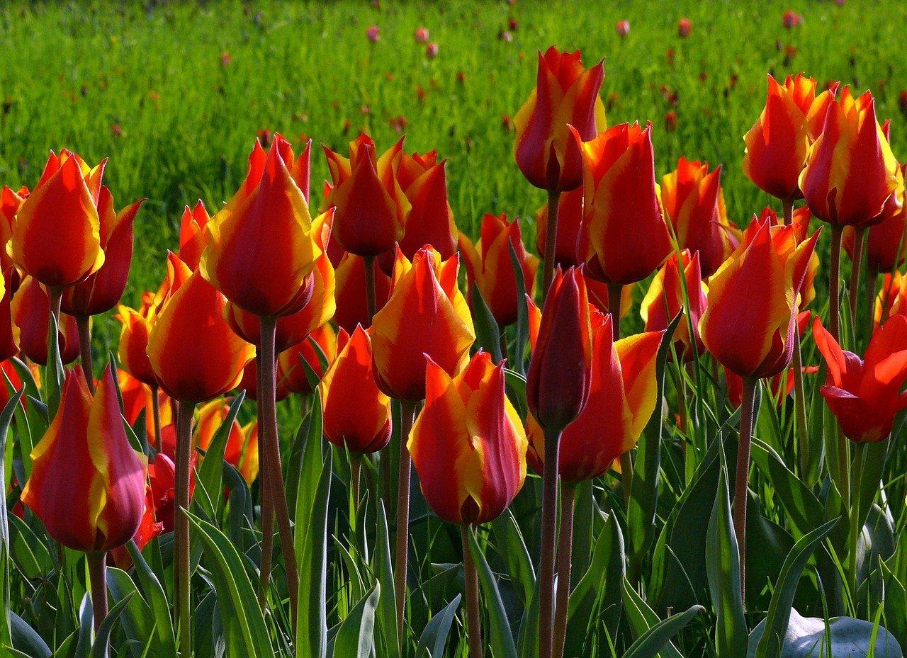 Тюльпаны оптом (от 600 шт.): фото и описание