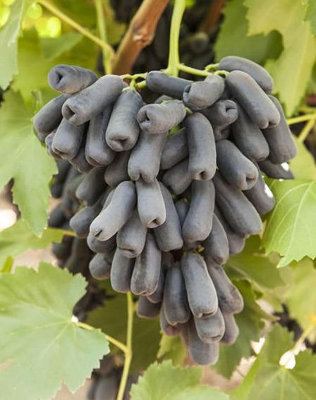 Саженец винограда Аватар: фото и описание