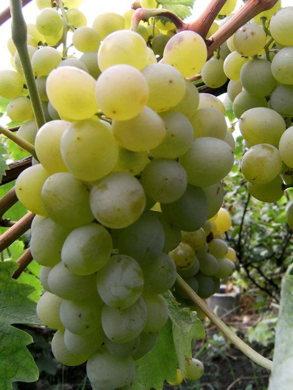 Саженец винограда Валек: фото и описание