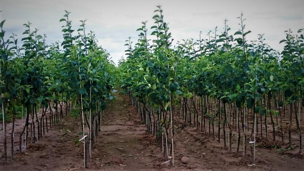 Яблони оптом ( от 500 шт.): фото и описание